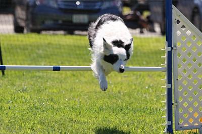 3-31-2018 Shetlant Sheepdog-4317