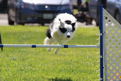 3-31-2018 Shetlant Sheepdog-4316