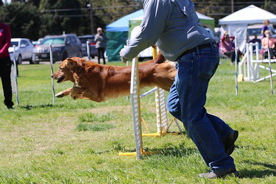 3-31-2018 Shetlant Sheepdog-4299