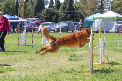 3-31-2018 Shetlant Sheepdog-4312