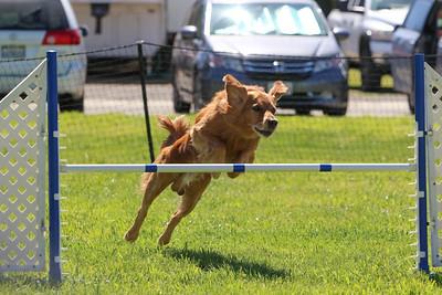 3-31-2018 Shetlant Sheepdog-4304
