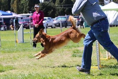 3-31-2018 Shetlant Sheepdog-4300