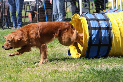 3-31-2018 Shetlant Sheepdog-4294