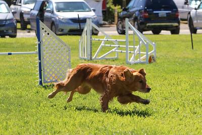 3-31-2018 Shetlant Sheepdog-4307