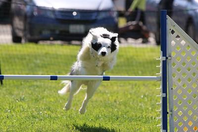 3-31-2018 Shetlant Sheepdog-4315