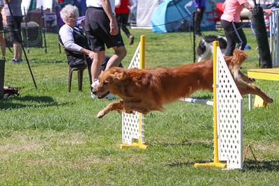 3-31-2018 Shetlant Sheepdog-3256