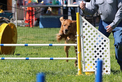 3-31-2018 Shetlant Sheepdog-3238