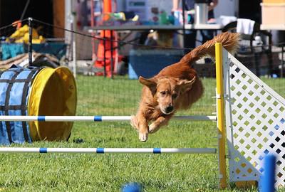 3-31-2018 Shetlant Sheepdog-3240