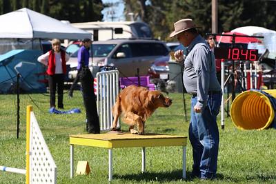 3-31-2018 Shetlant Sheepdog-3252