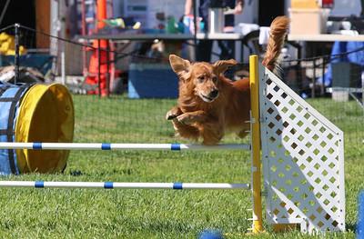 3-31-2018 Shetlant Sheepdog-3246
