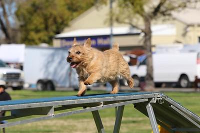 3-31-2018 Shetlant Sheepdog-2546