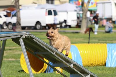 3-31-2018 Shetlant Sheepdog-2543