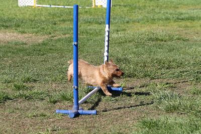 3-31-2018 Shetlant Sheepdog-2538
