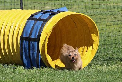 3-31-2018 Shetlant Sheepdog-2540