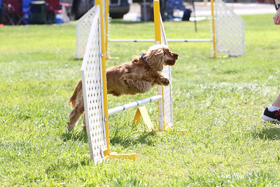 3-31-2018 Shetlant Sheepdog-5122