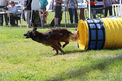3-31-2018 Shetlant Sheepdog-5133