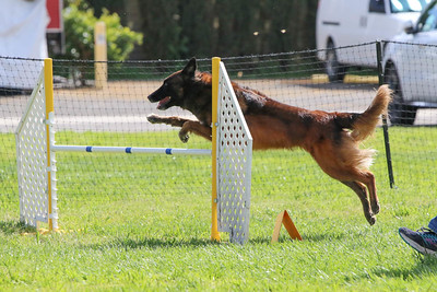 3-31-2018 Shetlant Sheepdog-5138
