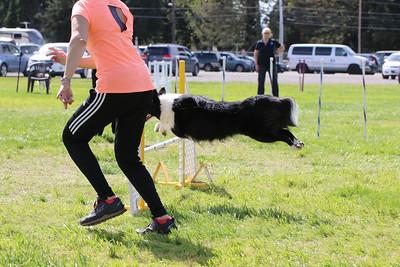3-31-2018 Shetlant Sheepdog-5128