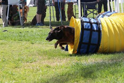 3-31-2018 Shetlant Sheepdog-5132