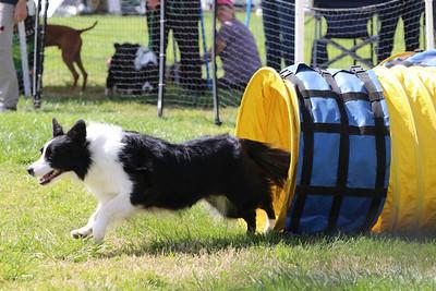 3-31-2018 Shetlant Sheepdog-5126