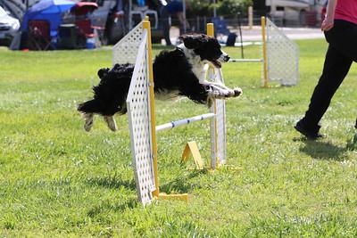 3-31-2018 Shetlant Sheepdog-5130