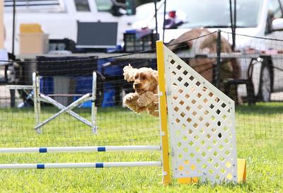 3-31-2018 Shetlant Sheepdog-5040