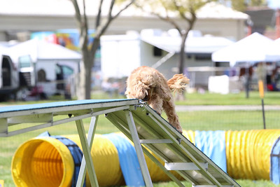 3-31-2018 Shetlant Sheepdog-5051