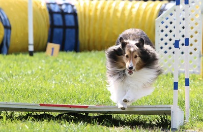 3-31-2018 Shetlant Sheepdog-5038