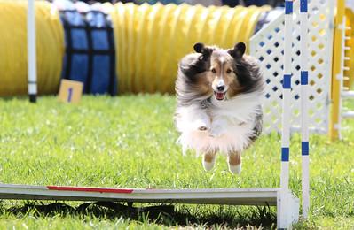 3-31-2018 Shetlant Sheepdog-5037