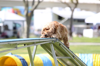 3-31-2018 Shetlant Sheepdog-5055