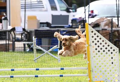 3-31-2018 Shetlant Sheepdog-5041