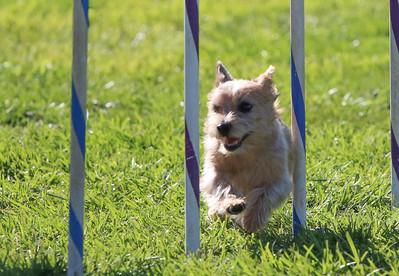 3-31-2018 Shetlant Sheepdog-2409