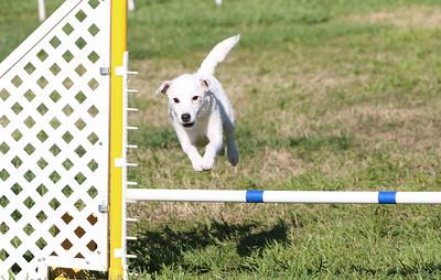 3-31-2018 Shetlant Sheepdog-2436