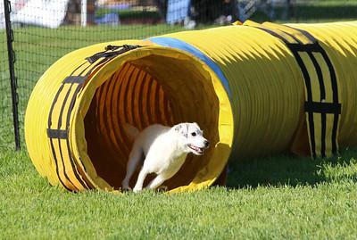 3-31-2018 Shetlant Sheepdog-2429