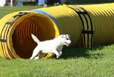 3-31-2018 Shetlant Sheepdog-2430