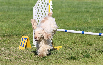 3-31-2018 Shetlant Sheepdog-2440