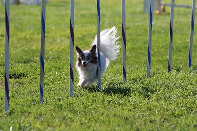 3-31-2018 Shetlant Sheepdog-2415