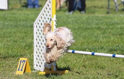 3-31-2018 Shetlant Sheepdog-2439