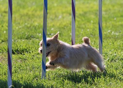 3-31-2018 Shetlant Sheepdog-2410