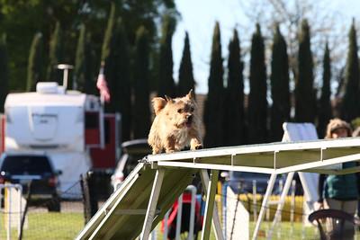 3-31-2018 Shetlant Sheepdog-2256