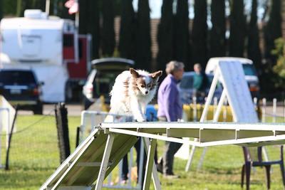 3-31-2018 Shetlant Sheepdog-2248