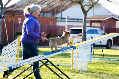 3-31-2018 Shetlant Sheepdog-1744