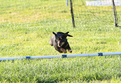3-31-2018 Shetlant Sheepdog-1737