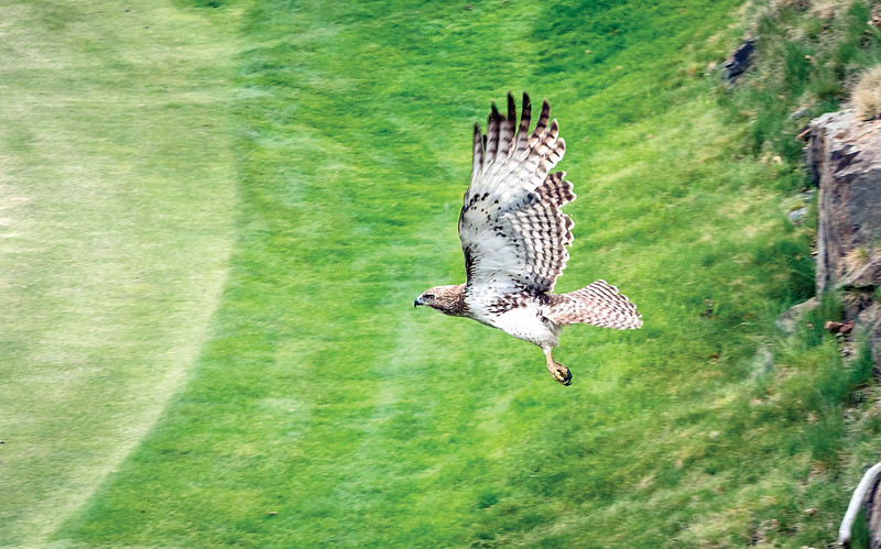 A female red-tailed hawk flies across the 2nd green at Tedesco Country Club as it hunts for food. (Item photo by Spenser Hasak)