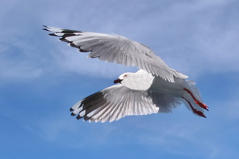 Silver Gull in Full Flight in  Blue Sky.  Exclusive Original stock Photo Art