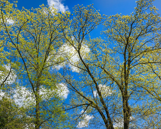 SPRING TREES 1-5332