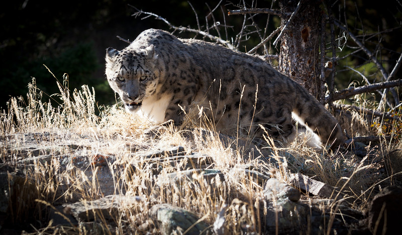Stalking Snow Leopard