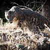 Stalking Snow Leopard