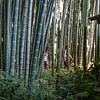Bamboo Forest at Kamakura