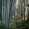 Bamboo Forest at Kamakura
